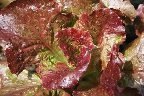 red summer crisp lettuce