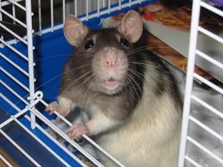 Pet Rat Petal