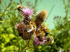 Ristoro -Al lago- (Teone!) Tags: lake flower lago fiori syrphidae bz dobbiaco chicc