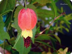 ■ lanterninha (Flαviα ★ Freitαs) Tags: flower macro flor sininho abutilon chinesa lanterninha megapotamicum chapéudecardeal vexillarium