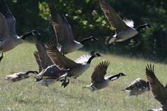 Take Off! (elvinborn) Tags: bird birds geese wings flight waterbird goose canadagoose abigfave acg2ndplacewinner photocontesttnc08