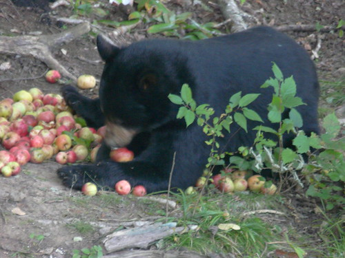 Bear gathering apples