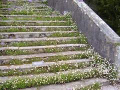 Daisies on old steps (epicnom) Tags: white flower daisies buildings steps olympus daisy pointshoot bellisperennis deborahharness