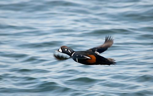As the Duck Flies