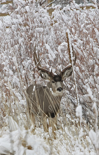 Deer in Snow by smbyers21. From smbyers21