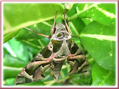 Daphnis nerii (Oleander Hawk-moth) - another angle from the top