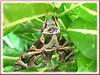 Daphnis nerii or Sphinx nerii (Oleander Hawk-moth)