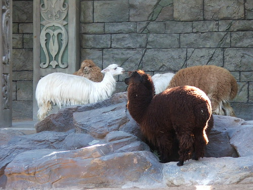 Alpacas in in Siegfried & Roy's Secret Garden and Dolphin Habitat at the Mirage Las Vegas