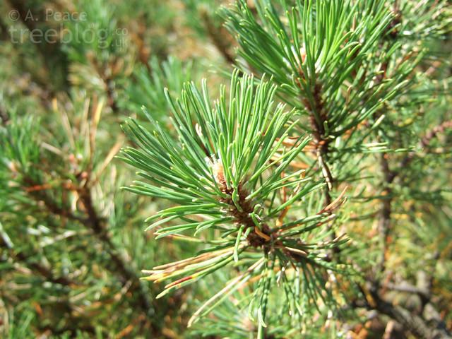 dwarf pine (pinus mugo)