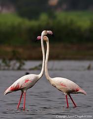You watch my back & I'll watch yours!! (AmeetC) Tags: birds wildlife flamingo greaterflamingo bhigwan migratorybirds