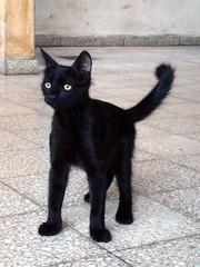 La Negra (pablodf) Tags: pet black santafe argentina cat kitten negro kitty gato rosario gata negra mascota gatito