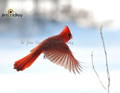 Northern Cardinal (JRIDLEY1) Tags: winter red snow bird flying cardinal quality naturesfinest bej zenfolio mywinners abigfave anawesomeshot brightonmichigan goldstaraward jridley1 jimridley photocontesttnc09 dailynaturetnc09 httpjimridleyzenfoliocom photocontesttnc10 lifetnc10 jimridleyphotography photocontesttnc11 photocontesttnc12 takenondec252008