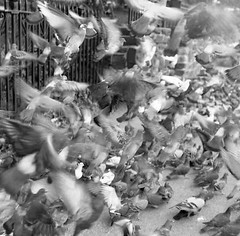 nyc birds 003 (Giovanni Savino Photography) Tags: life newyorkcity friends usa ny night nude real death day different surrealism pigeons surreal desperate impact soul intriguing visual soulful enemy realism crude neurotic magneticart 120filmscan giovannisavino