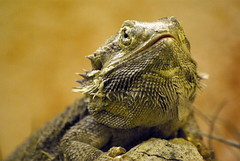 Lagarto (Hari62 (On & Off)) Tags: naturaleza animales lagarto reptiles reptil theunforgettablepictures dragondaggerphoto hari62 daarklands newgoldenseal