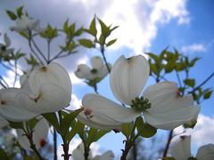 Dogwood blossom (sprinklegrandma) Tags: ky nights 1001nights 1001 northmiddletown homesweetkentucky