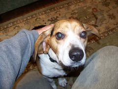 Flapjack (cseeman) Tags: dog beagle flapjack