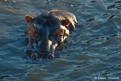 Hippopotamus (Eliseo Oliveras) Tags: africa park natal fauna southafrica wildlife estuary hippopotamus stlucia afrique kwazulunatal surafrica hipopotamo weltand stluciaestuary eliseooliveras stluciawetland ©eliseooliveras