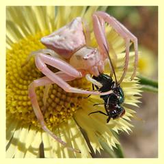 Thomisus onustus (PheCrew) Tags: macro bug insect thomisus soken aracnide macrolife senourrir beautifulmonsters