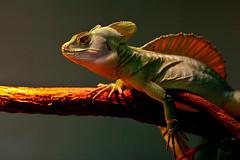 Plumed Basilisk (helmbasilisk) (Arie van Tilborg) Tags: green warmth lizard basilisk plumed omnivore basiliscusplumifrons arievantilborg vosplusbellesphotos