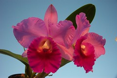 Rsc. (Rsc. Ronald Hauserman 'York' x Sc. Memoria Robert Strait 'Carmela') (dwittkower) Tags: orchid flower flora orchids orchidaceae cattleya hybrid orquideas orchidée orqudea
