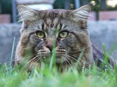 Anglų lietuvių žodynas. Žodis cat fancier reiškia kačių mėgėjas lietuviškai.
