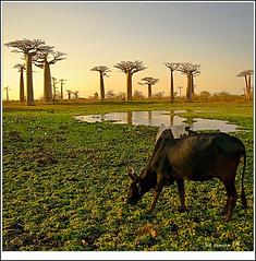 cebú pastando (bit ramone) Tags: naturaleza nature pentax madagascar k20 áfrica baobabs cebú multimegashot bitramone morondaba mahangoma sipasaisporgranadaosinvitoaunasbirras jojoby ounosvinos abtenersecocacolos