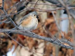 titmouse (umpbump) Tags: bird titmouse tuftedtitmouse