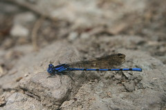 Magnificent blue dragonfly
