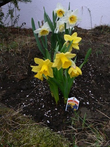New daffodils planted