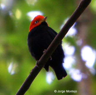 Red-capped Manakin is famous as the bird that dances as Michael Jackson. I can moonwalk.