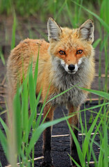 Red Fox (Family Man Studios) Tags: nature spring kit delaware redfox bombayhook wildllife delawareonline