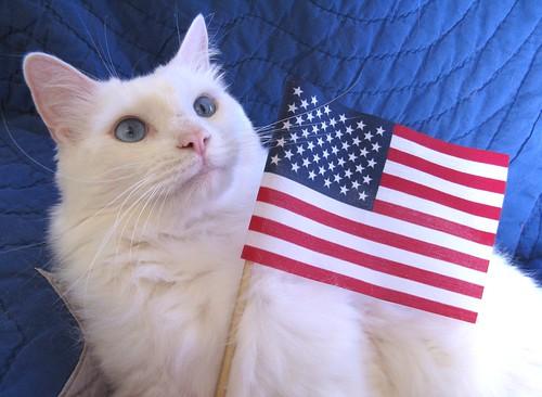 My Patriotic Cat  Cerulean  Patriotic Cats