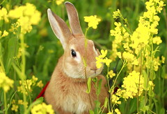 I can see you~ ( Spice (^_^)) Tags: light shadow plants pet brown flower male rabbit bunny green art animal yellow japan canon fur geotagged nose