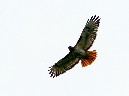 Red-tailed Hawk 20100510