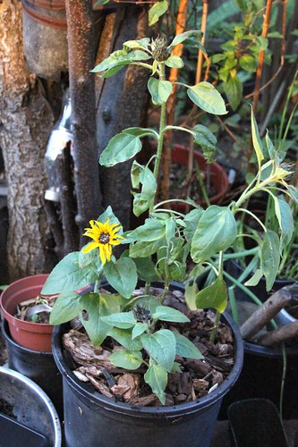 Dwarf Border Sunflower Potted Up