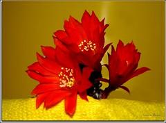Mammillaria Fiore (Schano) Tags: cactus stilllife flower macro nature photo natura cactaceae makro fiore cactuses pianta macrofotografia cactacea piantegrasse mammillaria macrofotografias piantagrassa cactacee excellentsflowers cactace dmcfz28 panasonicfz28 panasonicdmcfz28 giocandocolrosso scattatagiratoconpanasonicdmcfz28