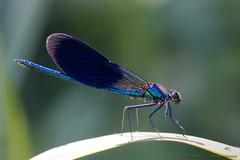 _2011_06_05_9827 male Calopteryx virgo.