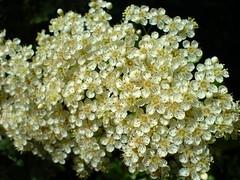 Anglų lietuvių žodynas. Žodis wayfaring-tree reiškia n bot. sodinis putinas lietuviškai.
