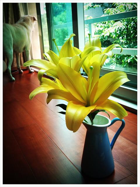 1000615  花幾乎全開了 原本的花瓶太滿 分一株出來(後面的球在看風景)