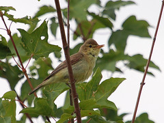 Orpheussptter / Melodious Warbler (Hippolais polyglotta) (Sexecutioner) Tags: bird nature birds animal animals canon germany deutschland tiere wildlife natur vgel tier rheinlandpfalz vulgar ingelheim 2011 hippolaispolyglotta melodiouswarbler felosapoliglota hypolaspolyglotte zarcerocomn orpheussptter orpheusspotvogel taiturikultarinta busqueta copyrightsexecutioner bosqueta polyglottsngare canapinocomune zarceroicterino hyppolaspolyglotte  zarceropolglota kratkokrilivoljic kratkokrilivolji  sedmohlsoktebotav zaganiaczwielomwny zaganiaczszczebliotliwy kysakanatlysarymukallit sedmihlsekvitoiv sedmihlsekvitoriv sedmihlsekvitoiv prqeshsizmbl arkcmukallit hashinagamushikui spottesanger  dligeze skopsngvari    zaganiaczszczebiotliwy beffarelpoliglot kratkoperutivrtnik lnekosulane daugiabalstoinuk ksakanatlsarmukallit  papoxamariella