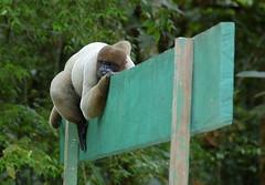 A Sign of Wildlife (Mondmann) Tags: travel tourism nature animal sign forest monkey amazon wildlife natureza nikond50 macaco floresta primate amazonas ecotourism diaadiabrasileiro