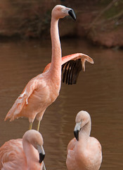 _MG_8375 (Sheila Haycox Photography) Tags: zoo paigntonzoo flamingoe