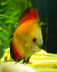Discus (Pockets1) Tags: orange fish jason eye water thanks aquarium town interestingness warm tank explore tropical fins discus top500  explored abigfave pca19 pockets1 jasontown