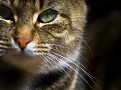 The EYE (riclane) Tags: eye closeup cat feline russell farm ottawa whiskers supershot bearbrook golddragon bearbrookfarms bestofcats theunforgettablepictures betterthangood goldstaraward