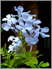 Plumbago auriculata 'Imperial Blue' (Blue/Cape Plumbago, Cape Leadwort) in our garden