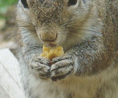 Squirrel nomnomage
