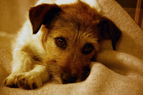 Zoe, Our Jack Russell