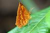 Micronia aculeata (* Anita Lee *) Tags: microniaaculeata hongkongmoths callidulidae tetragonuscatamitus