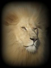 Royalty (patries71) Tags: cat kat leo lion bigcat finepix fujifilm predator picnik whitelion ouwehands leeuw pantheraleo roofdier witteleeuw s5600 specanimal patries71 impressedbeauty megashot