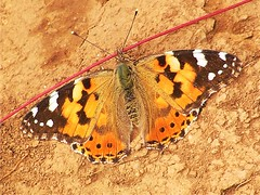 A painted lady